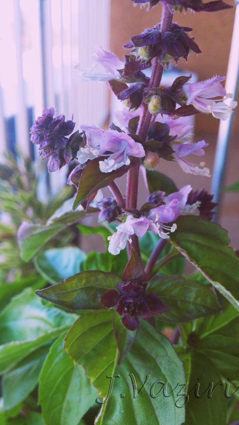 BasilBlossom